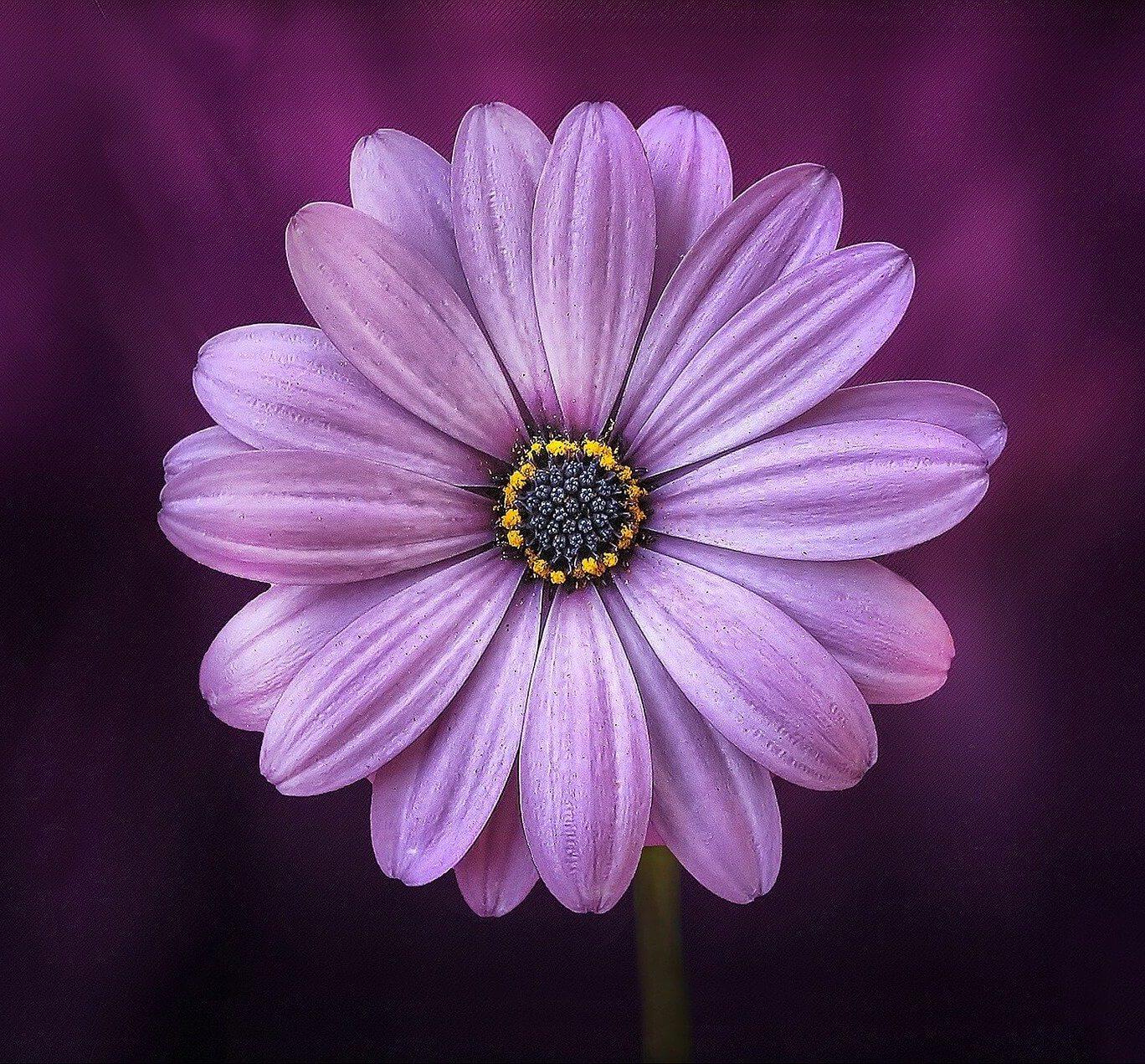 massage-les-fleurs-ages-gerbera-mauve